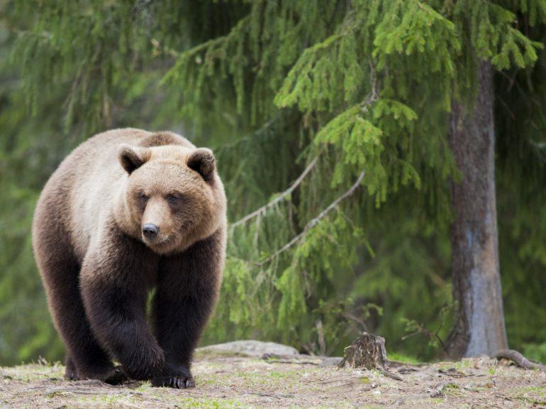 The walking bear